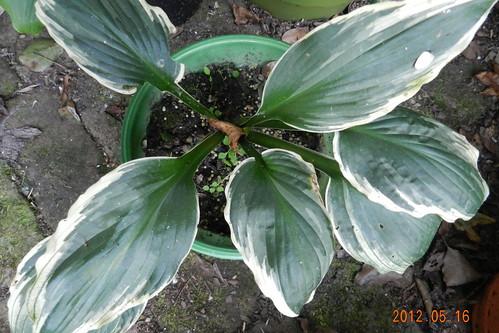 Hosta undulata albomarginata
