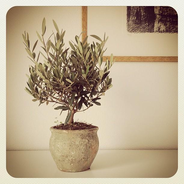Il nostro piccolo ulivo ❤