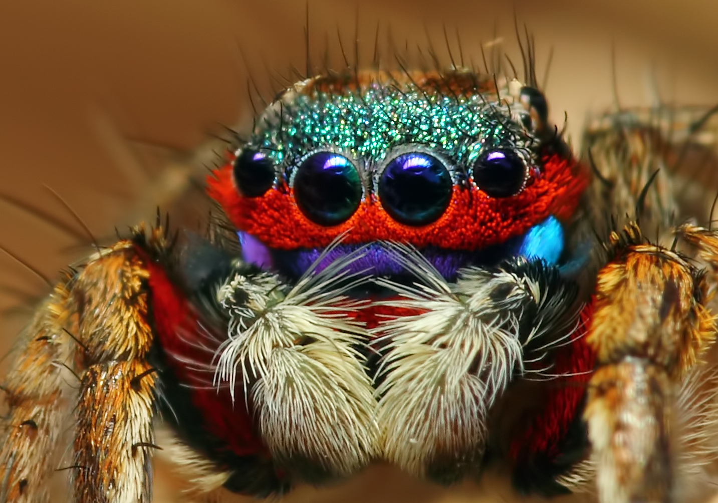 Colorful jumping spider - photo#19