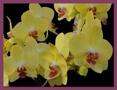 Des orchidées /// Some orchids
