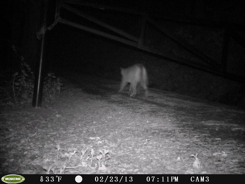 Mountain Lion 2/23/2013 @19:11 San Mateo County; photo taken by motion-sensor camera. Check w/Georgia Stigall for more info. Presumably the same individual as the one in daylight on this date (but can't know for sure.)