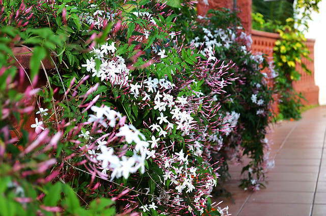 Jasmine in the Garden
