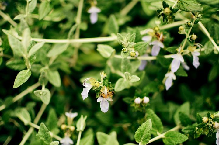lavendar bees