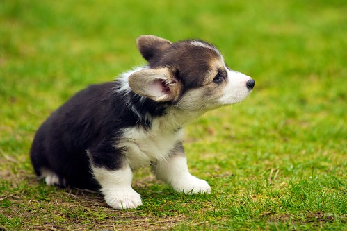 Corgi Puppies 41
