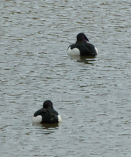 Vigg / Tufted Duck