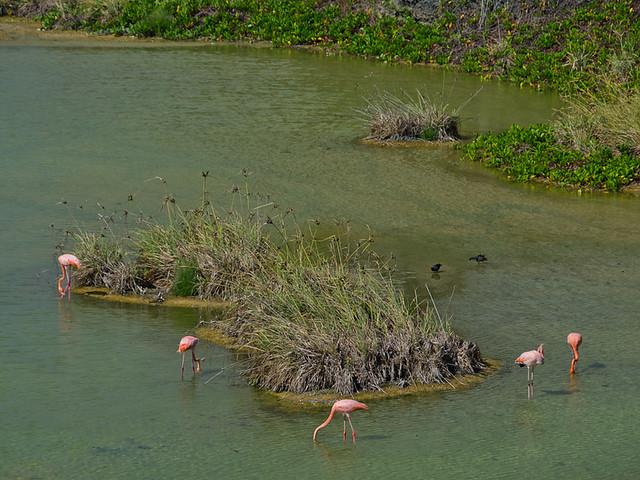 Galapagos: Flamingos, Isla Isabela