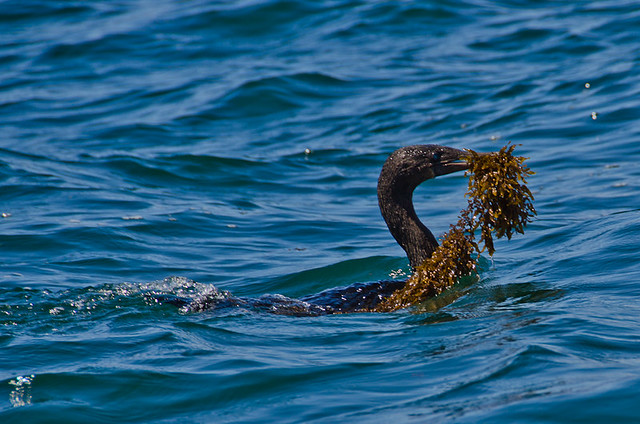Galapagos Birds: Flightless Cormorant