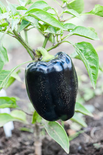 120927_009_Sweet pepper 'Purple Beauty'.jpg