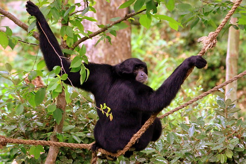Siamang, hanging out