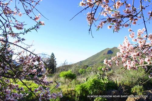 Almond blossom on Tenerife