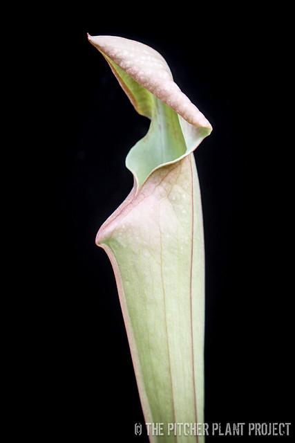 Sarracenia (leucophylla x oreophila) - Oudean Clone x 'Adrian Slack'