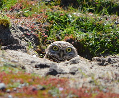 Burrowing Owl - Alameda Point wildlife refuge