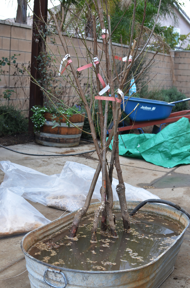 backyard orchard culture: part 2