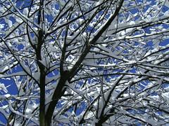 zăpada mieilor/late spring snow