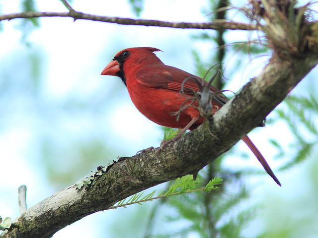 Northern Cardinal 20130312