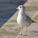 Gaivota de bico riscado - Larus delawarensis - Ring-billed Gull