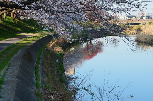CherryBlossom_3