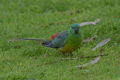 Red - rumped Parrot  ( Male )