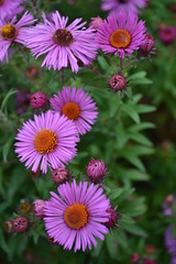 SYMPHYOTRICHUM novae-angliae 'Roter Stern'
