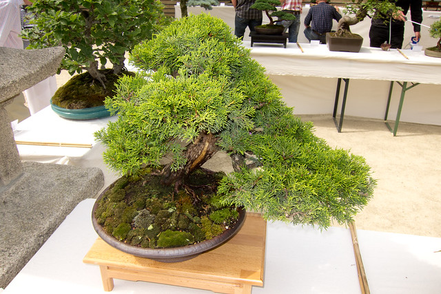 cypress, bonsai, art