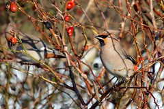 Waxwing - disdainful in the shade