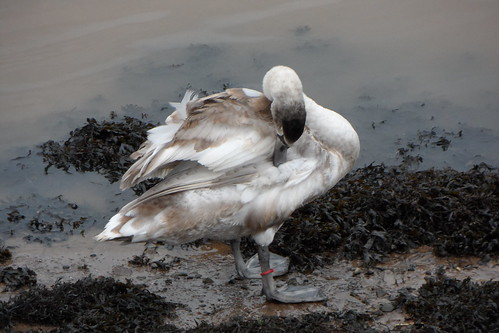 Preening time for cygnet in Berwick upon Tweed