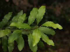 Lomatia arborescens