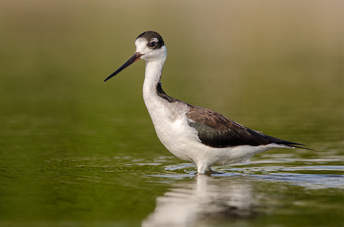 bird birds blackneckedstilt wildlife birding birdwatching avian stilt birdphotography birdperfect