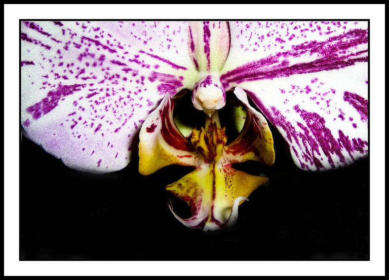 Center of the Splash orchid