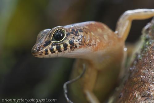 Sabah slender skink (Sphenomorphus sabanus). ID credit: hisno. IMG_6797 copy