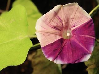 Q0269 Ipomoea nil flower