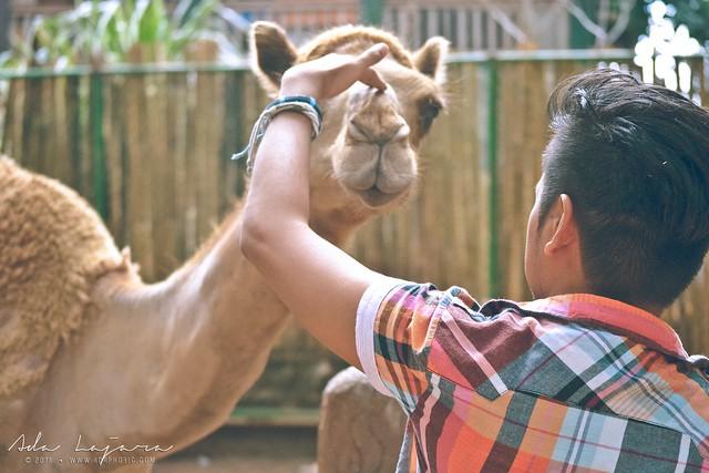 Camel Zoobic Safari