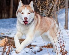[Free Images] Animals (Mammals), Dogs, Siberian Husky ID:201303041000