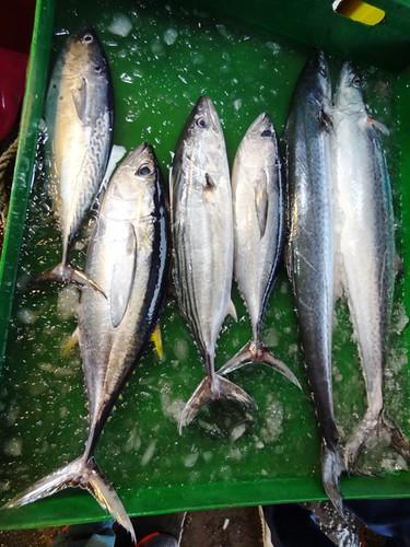 馬加魚和土魠、白腹仔同屬鰆魚家族,外形相似不易辨認。圖右一為白腹仔。攝影:廖律清