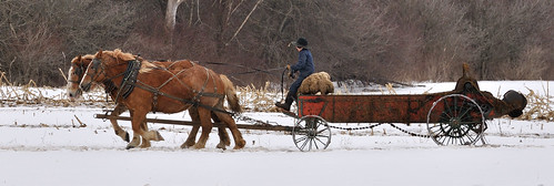 Amish boy with horses and spreader