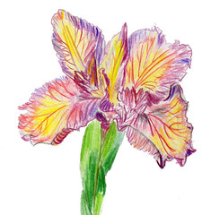 peruvian lily(0.0), cut flowers(1.0), magenta(1.0), flower(1.0), plant(1.0), illustration(1.0), pink(1.0), petal(1.0),