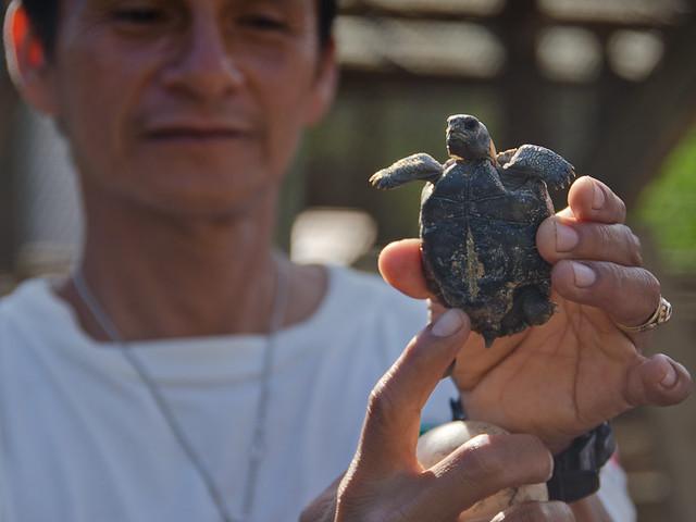 Galapagos Reptiles: Giant Tortoise hatchling