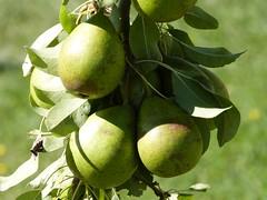 fruit tree, branch, pear, fruit,