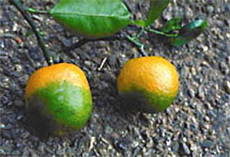 Oranges infected with citrus greening.  Photo courtesy of ARS.