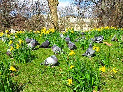 birds and daffodils