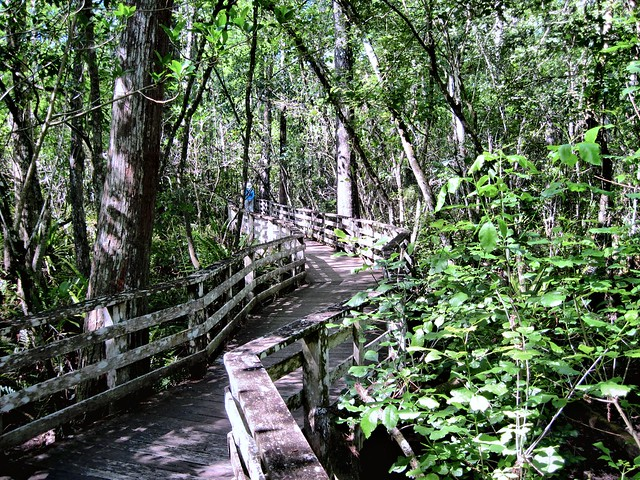Corkscrew Swamp Boardwalk HDR 20130310
