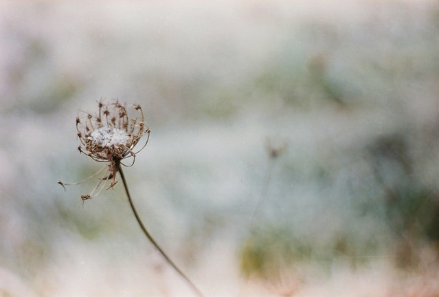 closer, frosted Queen Anne's Lace