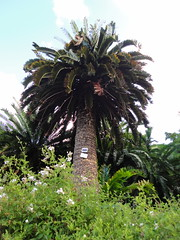 borassus flabellifer(0.0), garden(0.0), produce(0.0), fruit(0.0), food(0.0), date palm(1.0), arecales(1.0), botanical garden(1.0), tropics(1.0), palm family(1.0), flower(1.0), tree(1.0), plant(1.0), flora(1.0), elaeis(1.0),