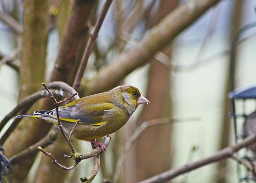 Greenfinch by birbee