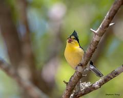 11黃山雀