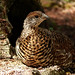 Young Spruce Grouse by annkelliott