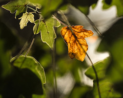 Woodland Walk (Backlit leaf)