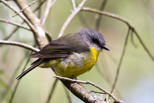 Eastern Yellow Robin 2013-02-10 (_MG_0248)