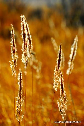 autumn color nature grass yellow nikon bokeh d200 nikkor krasnoyarsk medvedev медведев alexandr