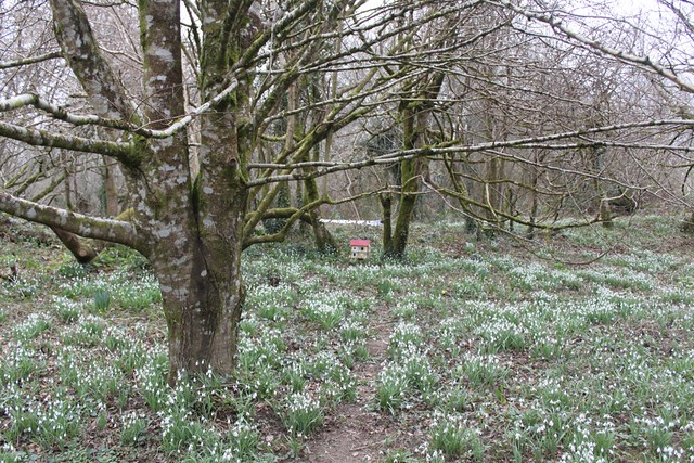 In the snow drop woods...